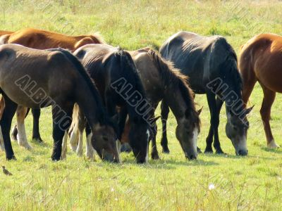 The farmer's horses graze in summer pastures