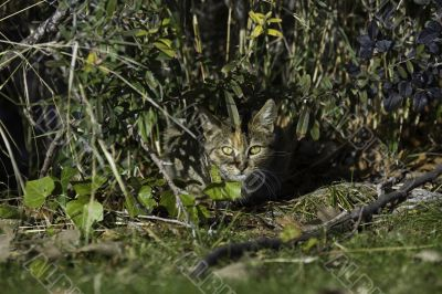 Bengal cat hiding in the plants