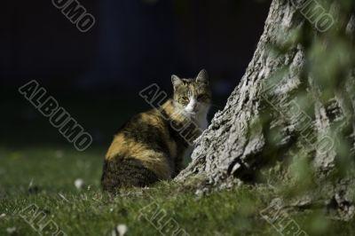 Tricolor cat outdor