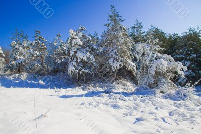 Trees in the snow against the bright blue sky.