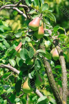 Bright juicy pear fruit hanging on the tree in the green leaves.