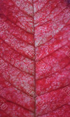 Leaf of the poinsettia