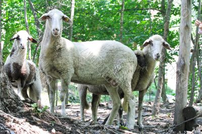 Several domestic sheep are walking in the woods.
