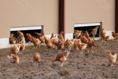 chickens outdoors