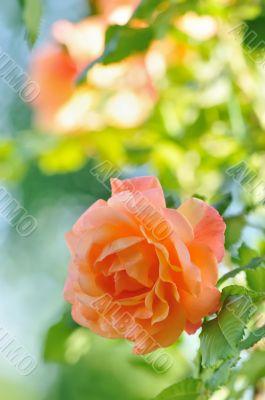 Rosa in Garden