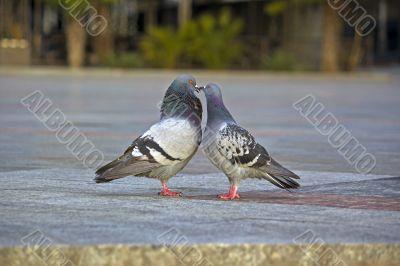 Beloved doves