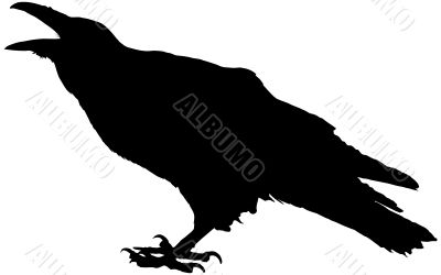Cawing raven