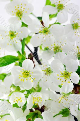 Tree branch with cherry flowers