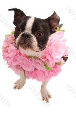 Boston Terrier Dog Wearing Hawaiian Lei