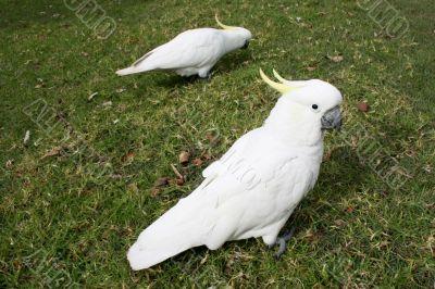 Cockatoos in park
