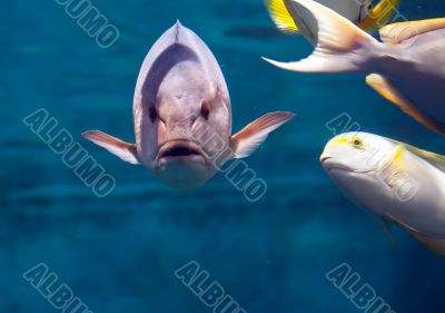 fish with teeth under the water