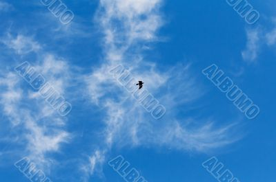 Hooded Crow Flying in the Sky with Wings Spread