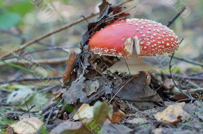 Mushroom in summer forest