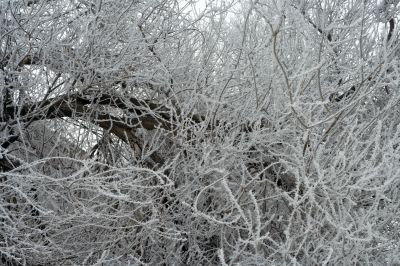 Dense branches covered in snow