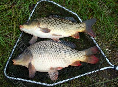 catch carp