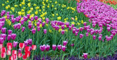 blossom tulips grow