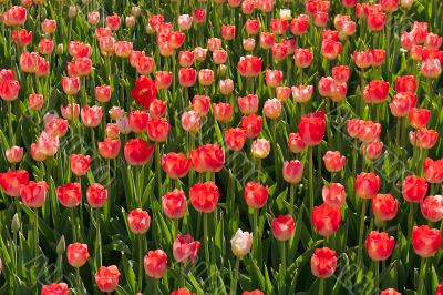 red blossom tulips grow