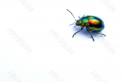Colored beetle