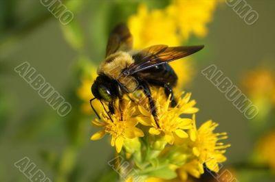 Bee on Flower Closeup
