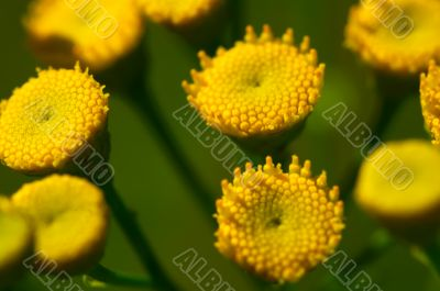 Yellow daisies without petals