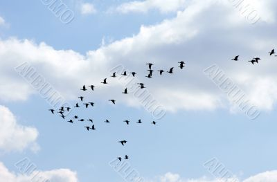 Wild geese in the flight