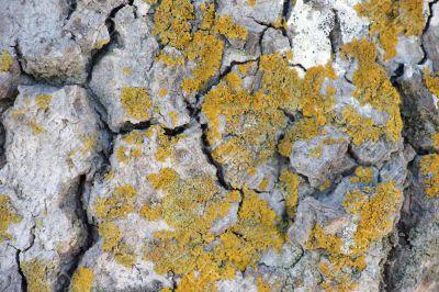 Lichens on limestone