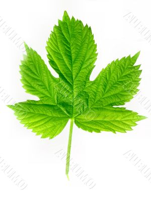 Green leaf of hop isolated