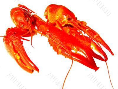 Close up of two crawfish isolated