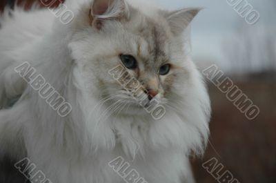 Siberian pedigree cat 1