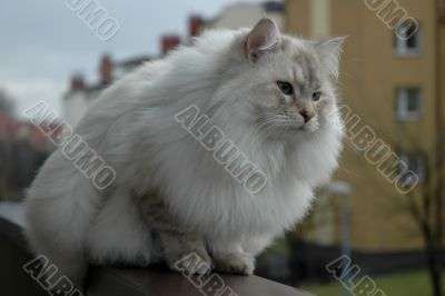 Siberian pedigree cat 2