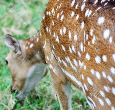 deer spot