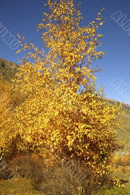 Yellow striking birch on a background sky and mountains
