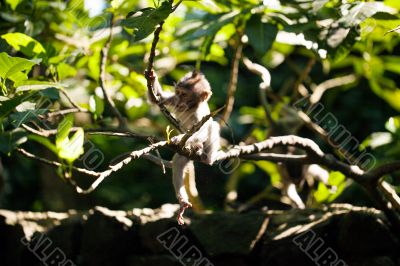 Baby monkey in green foliage
