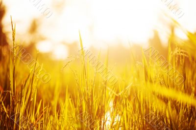 Grass in lights of sunset