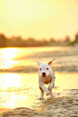American Staffordshire terrier in sunset