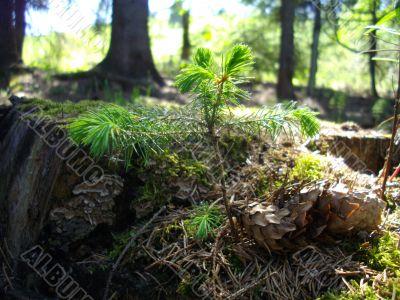 The Little Fir-tree and the Fir-cones