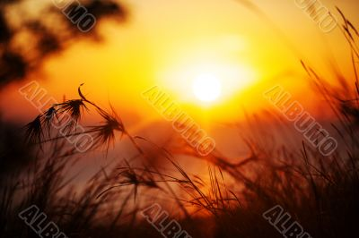 Silhouette of grass in sunset.