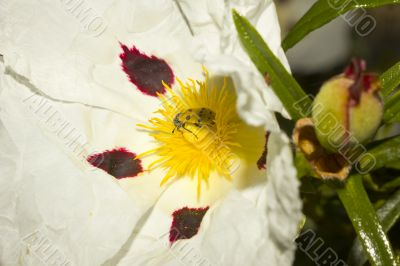 Cistus Ladanifer flower with insect trichodes octopuntatus