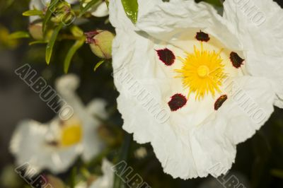 Cistus Ladanifer flower