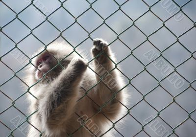 Snow monkey gripping a wire mesh fence