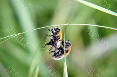Copulating hover flies