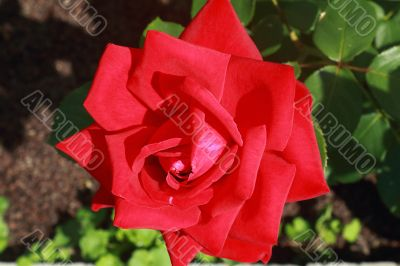 Scarlet beautiful blossoming rose against the green of the leave