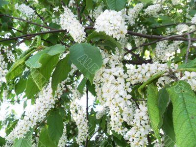 bird-cherry tree