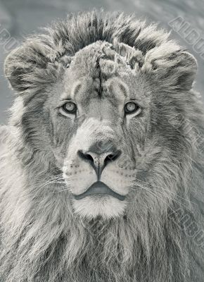 close up lion head