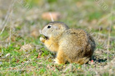 Prairie dog in green field