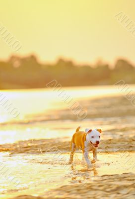 American Staffordshire Terrier dog play in water