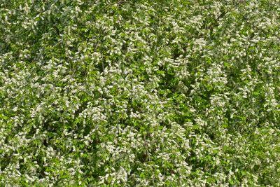 Bird cherry flowers.