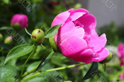 Beautiful peony flower on a bed in the garden