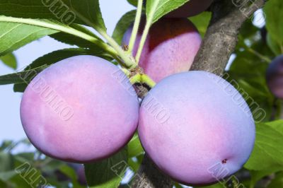 Large ripe plums on a tree branch against the blue sky.
