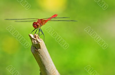 red dragonfly sitting on a twig
